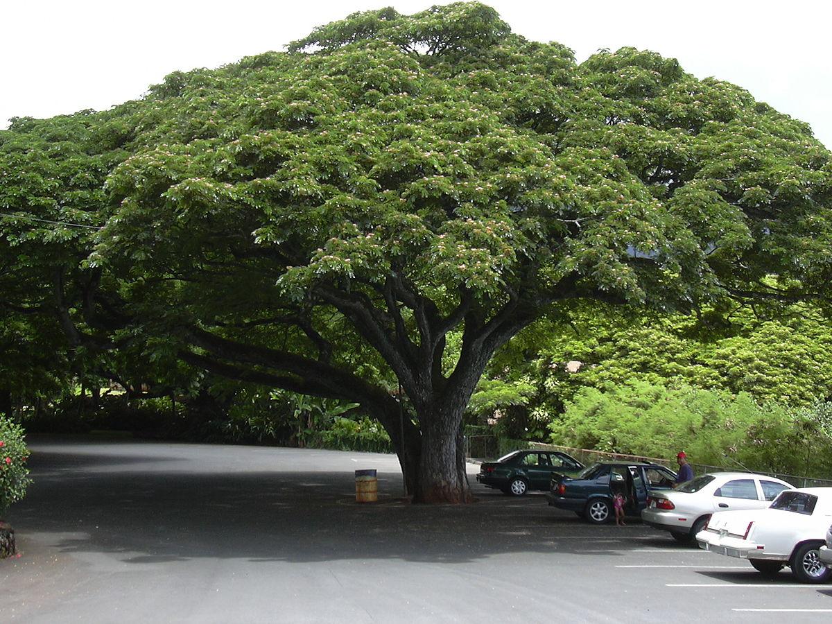 arbol de gran follaje llamado Samanea saman