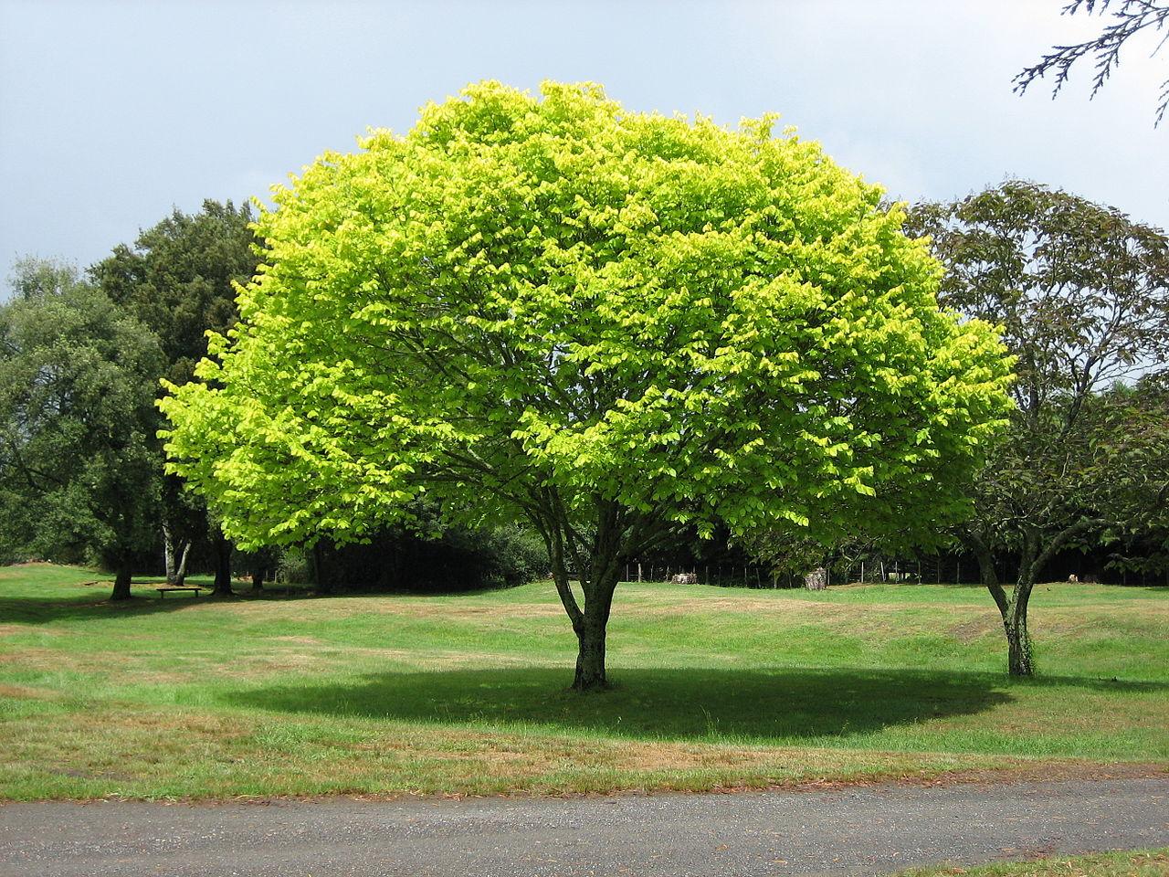 Hay árboles que ensucian poco para jardines