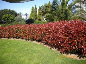 arbusto Fotinia de hoja roja que sirve para decorar jardines