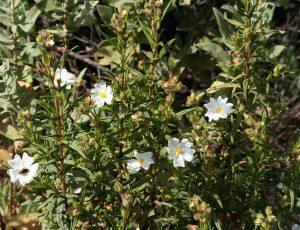 arbusto con flores pequenas y blancas