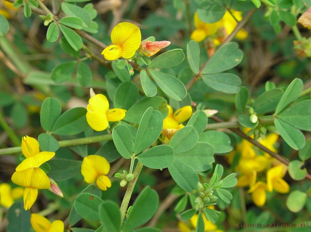 arbusto de hojas verdes y flores amarillas