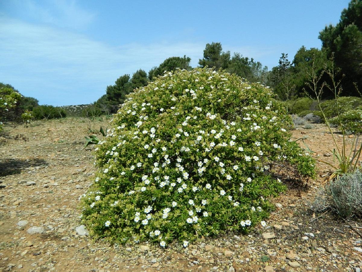 arbusto solitario llamado Estepa negra