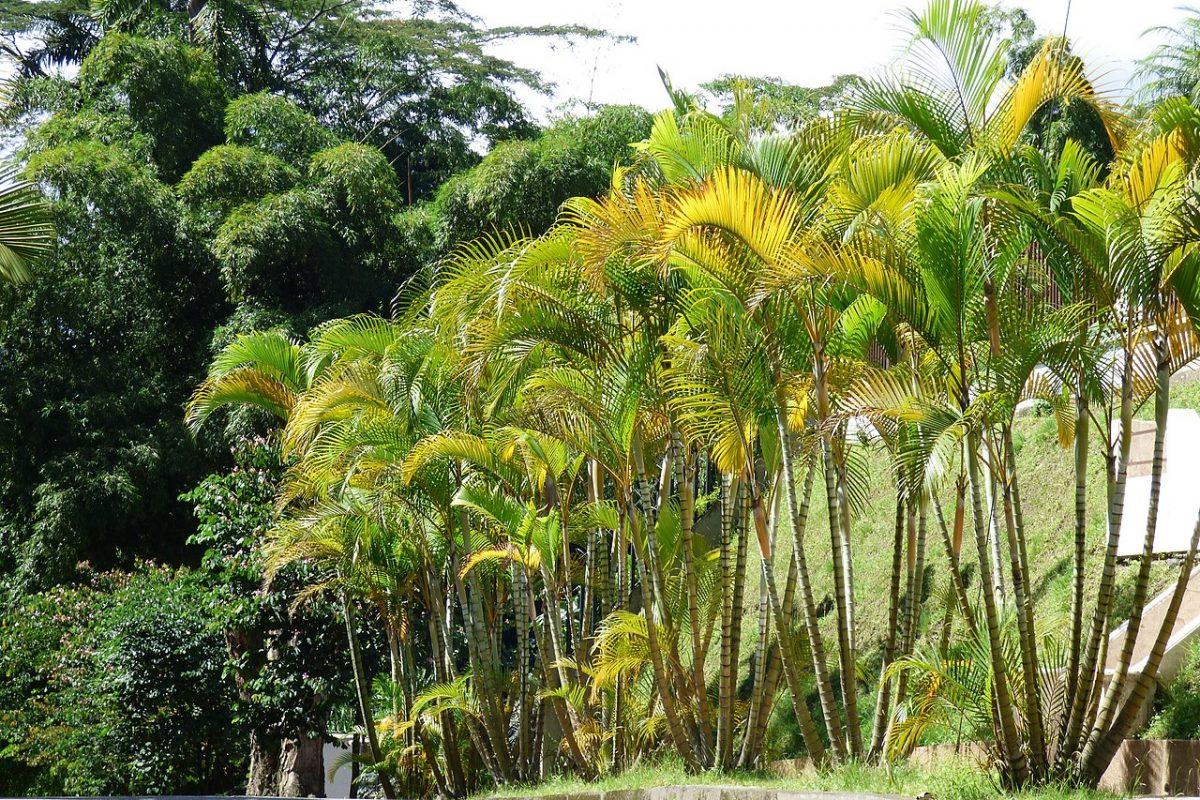 Las Dypsis tienen hojas pinnadas para que el agua salga rápido