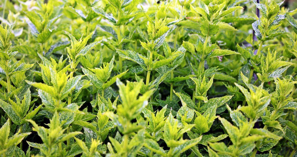 Las plantas aromáticas son fáciles de cuidar