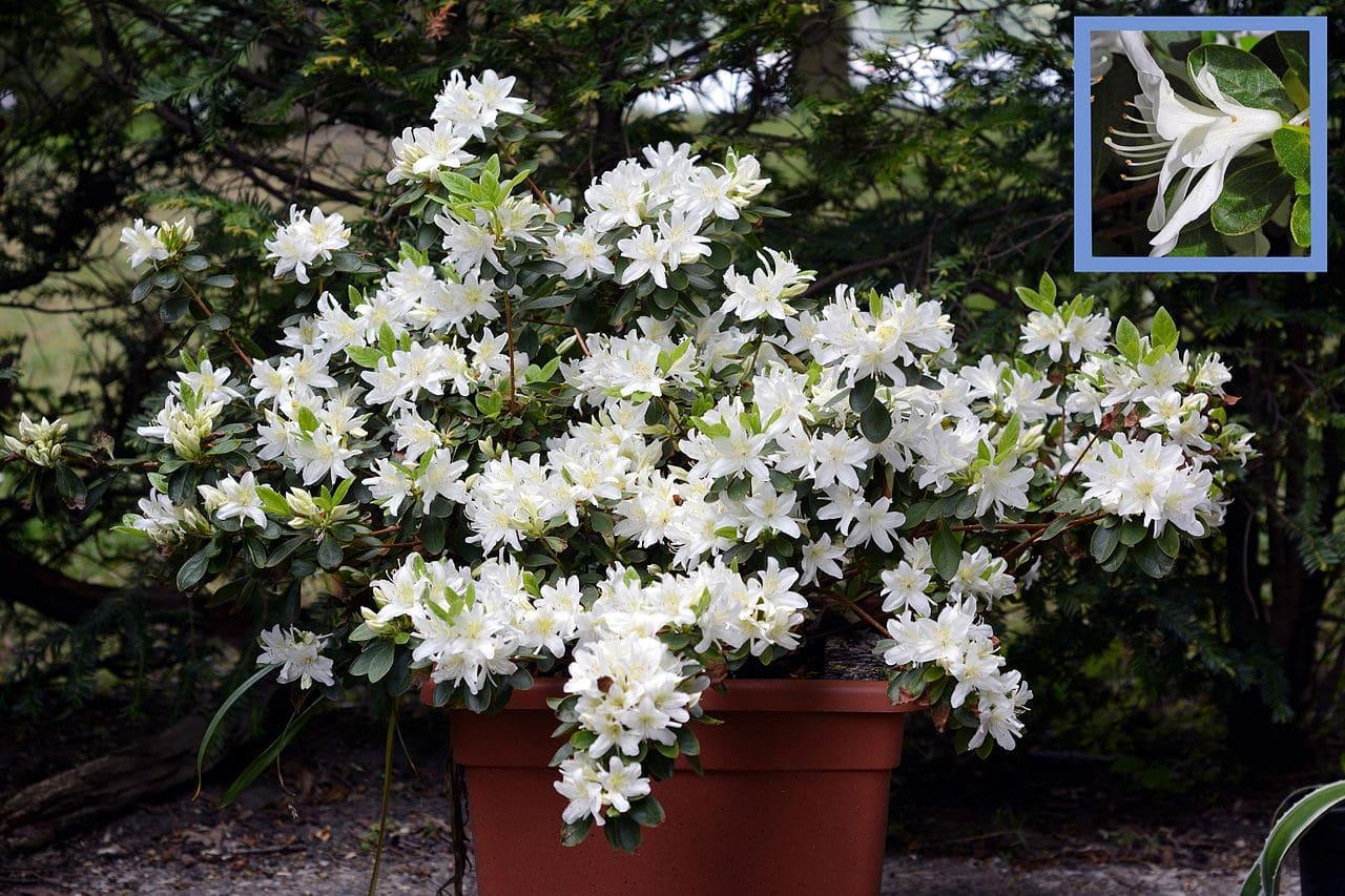 Las azaleas son plantas ideales para terrazas