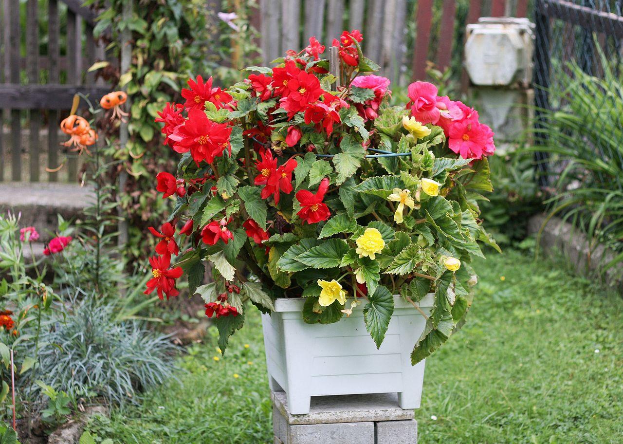 Las begonias son plantas ideales para cultivar en casa