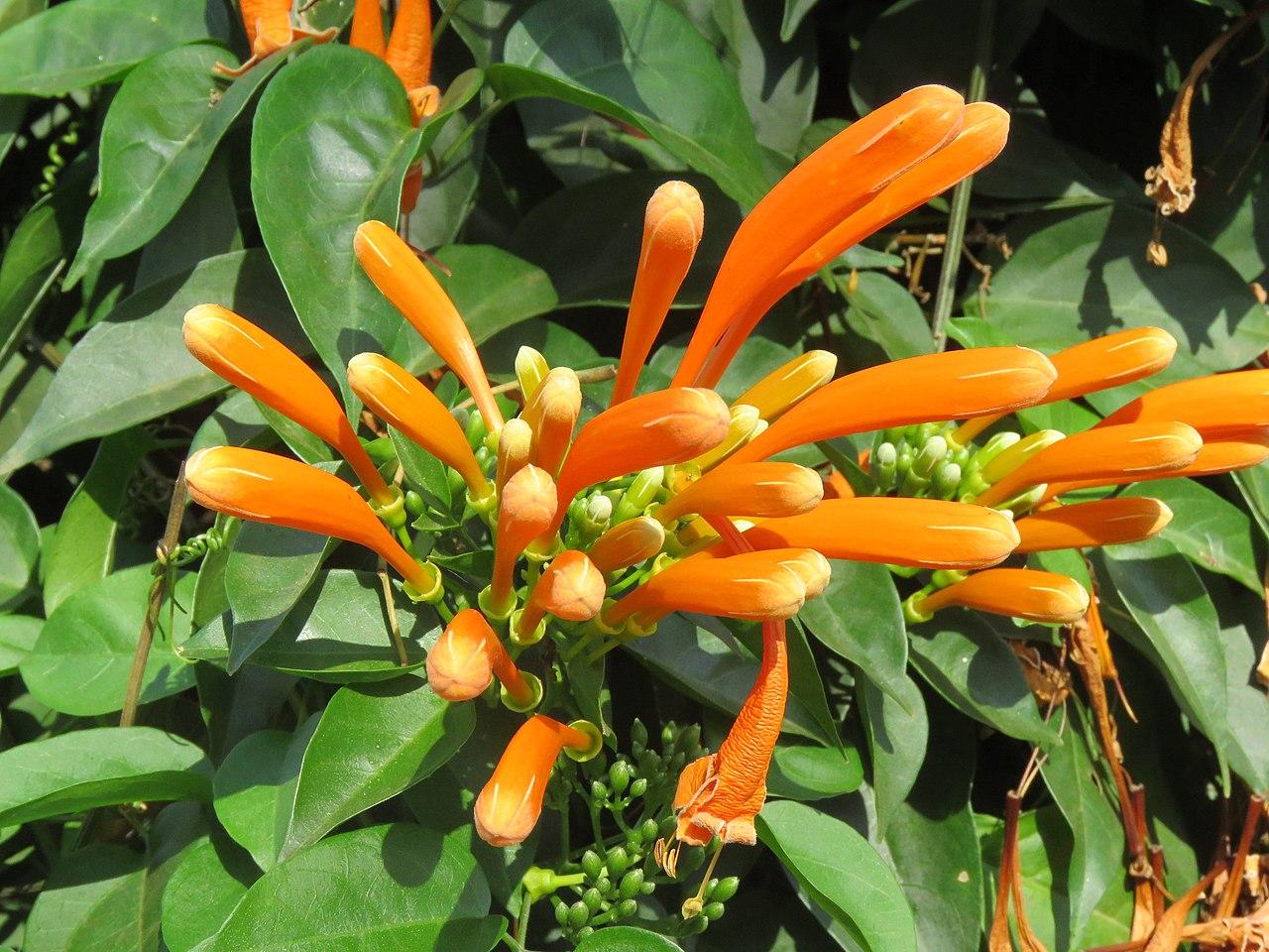 La bignonia de invierno produce flores naranjas