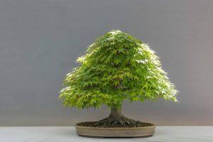 El riego del bonsái ha de ser seguido