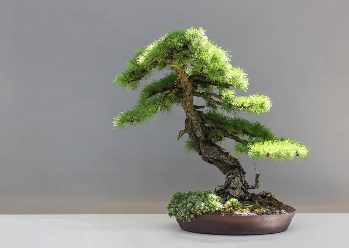 El riego de un bonsái es delicado