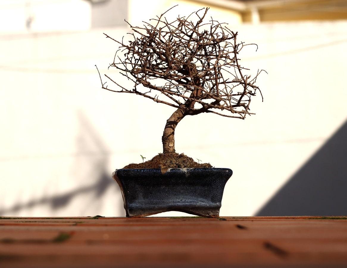 Los bonsáis secos se pueden recuperar a veces