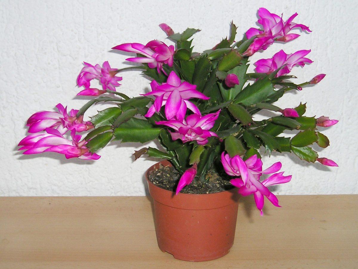 El cactus de navidad es una planta epífita que produce flores vistosas