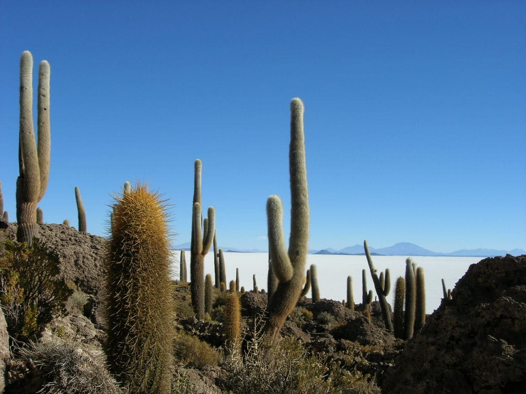 Los cactus son plantas de regiones áridas