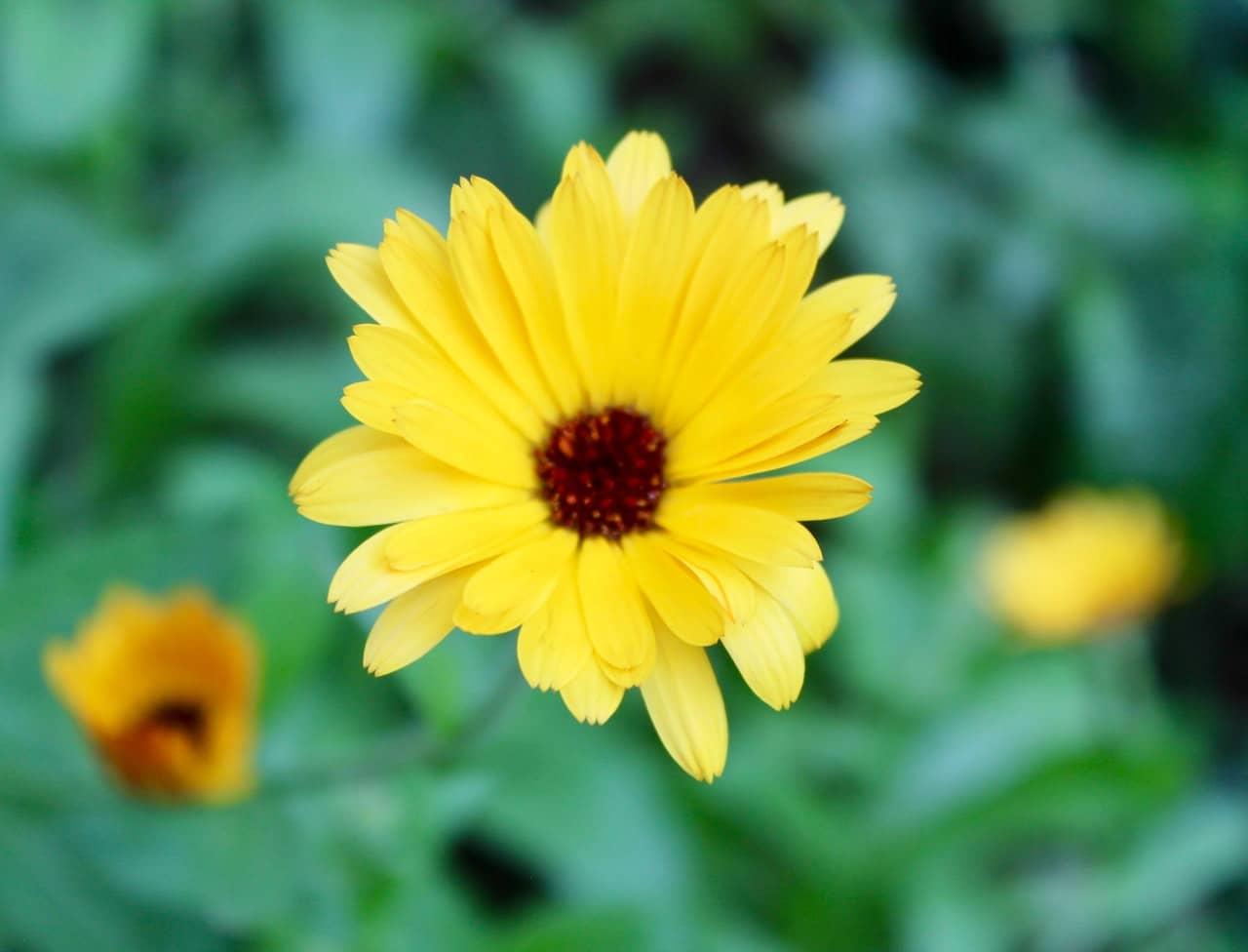 La caléndula produce flores amarillas