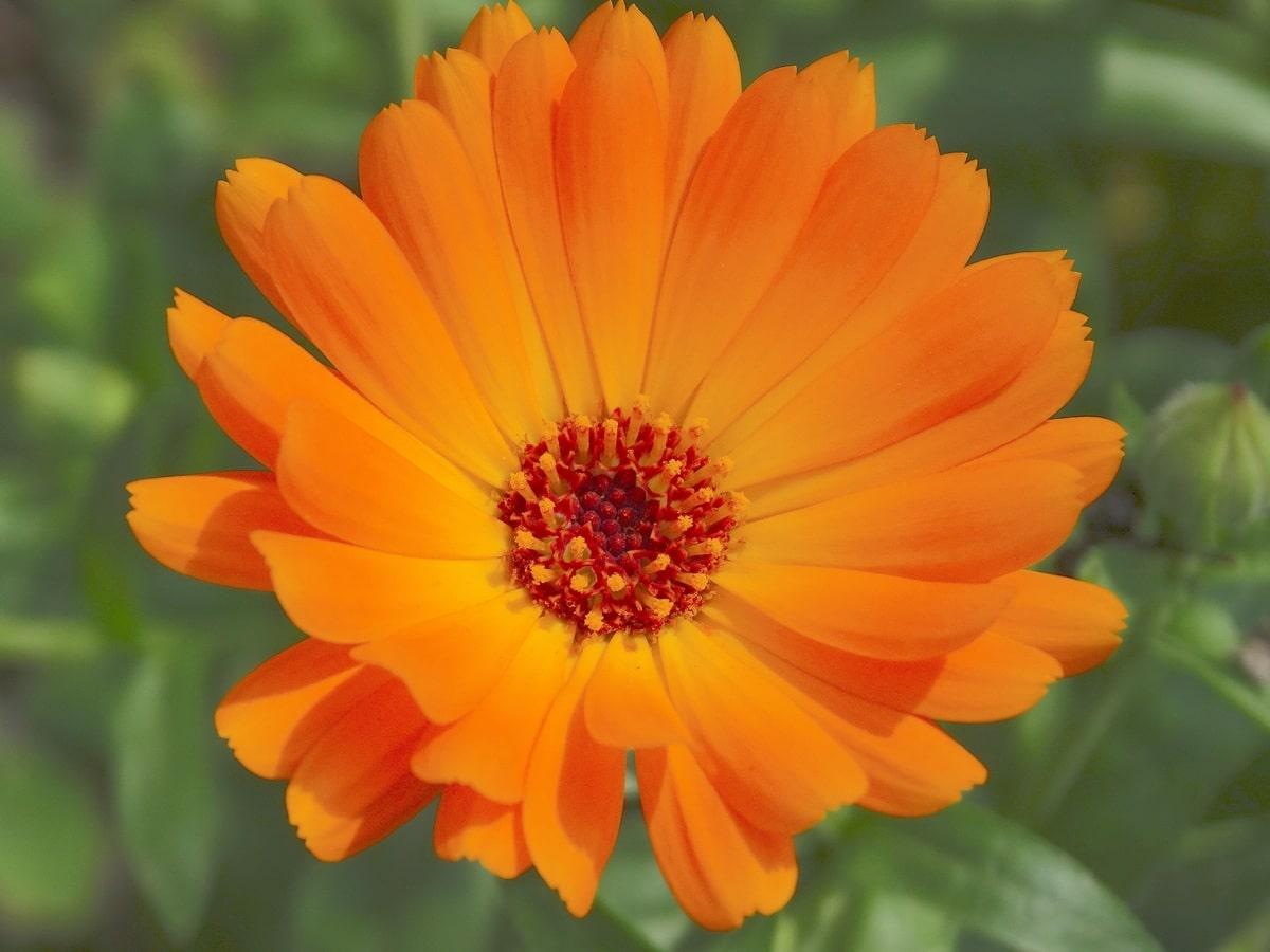 La caléndula es una hierba de flor naranja
