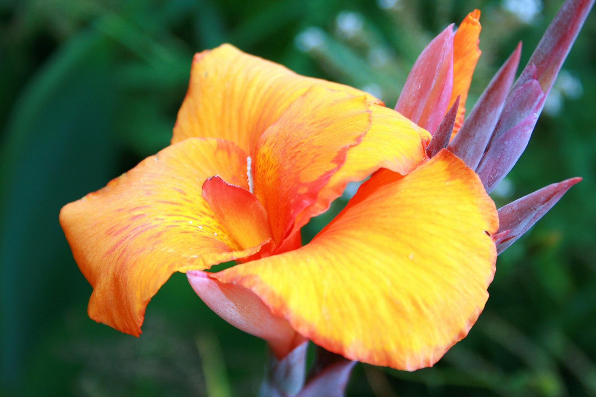 La caña de Indias es una planta rizomatosa ideal para cultivar en jardineras