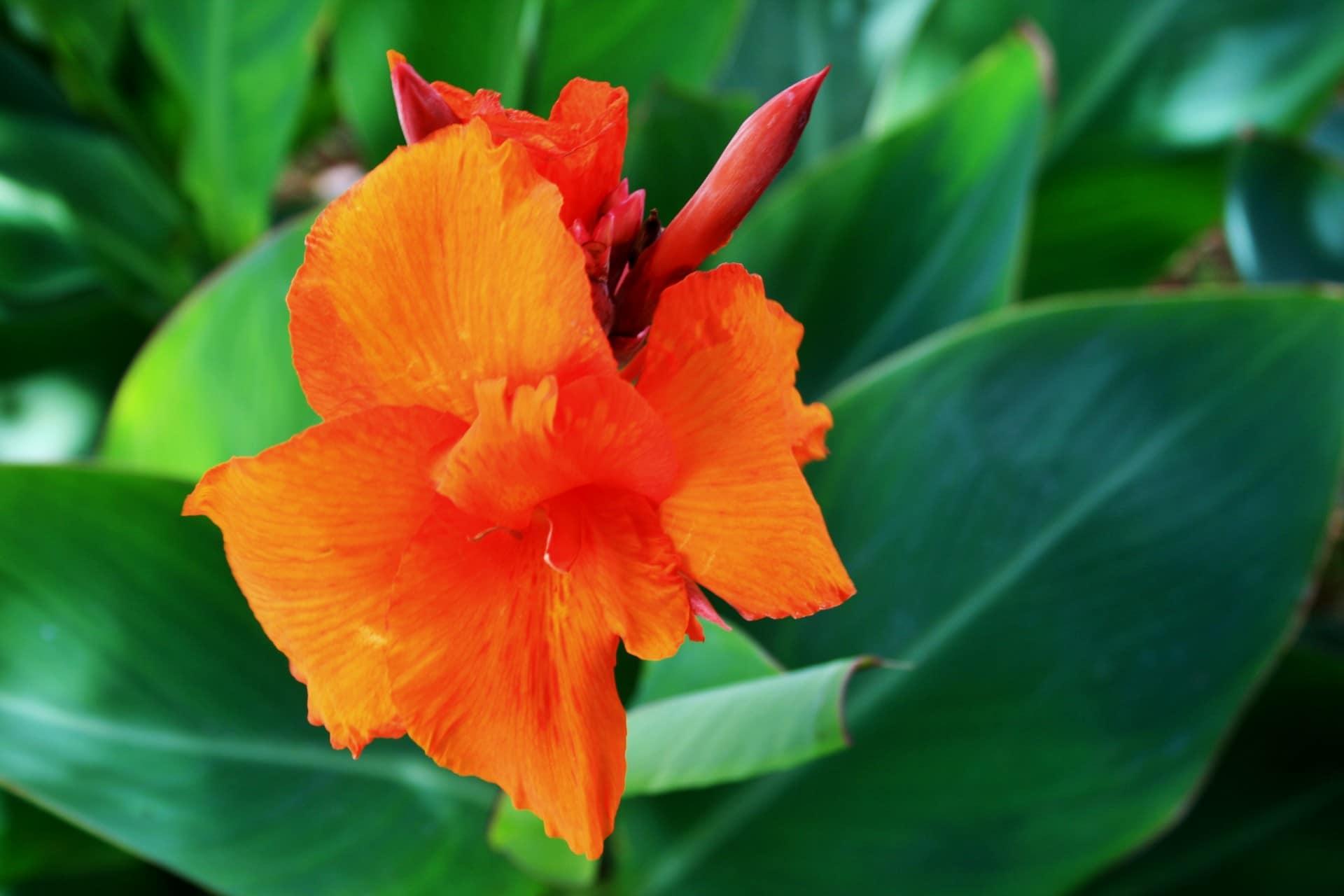 La caña de las Indicas es una planta que produce flores naranjas