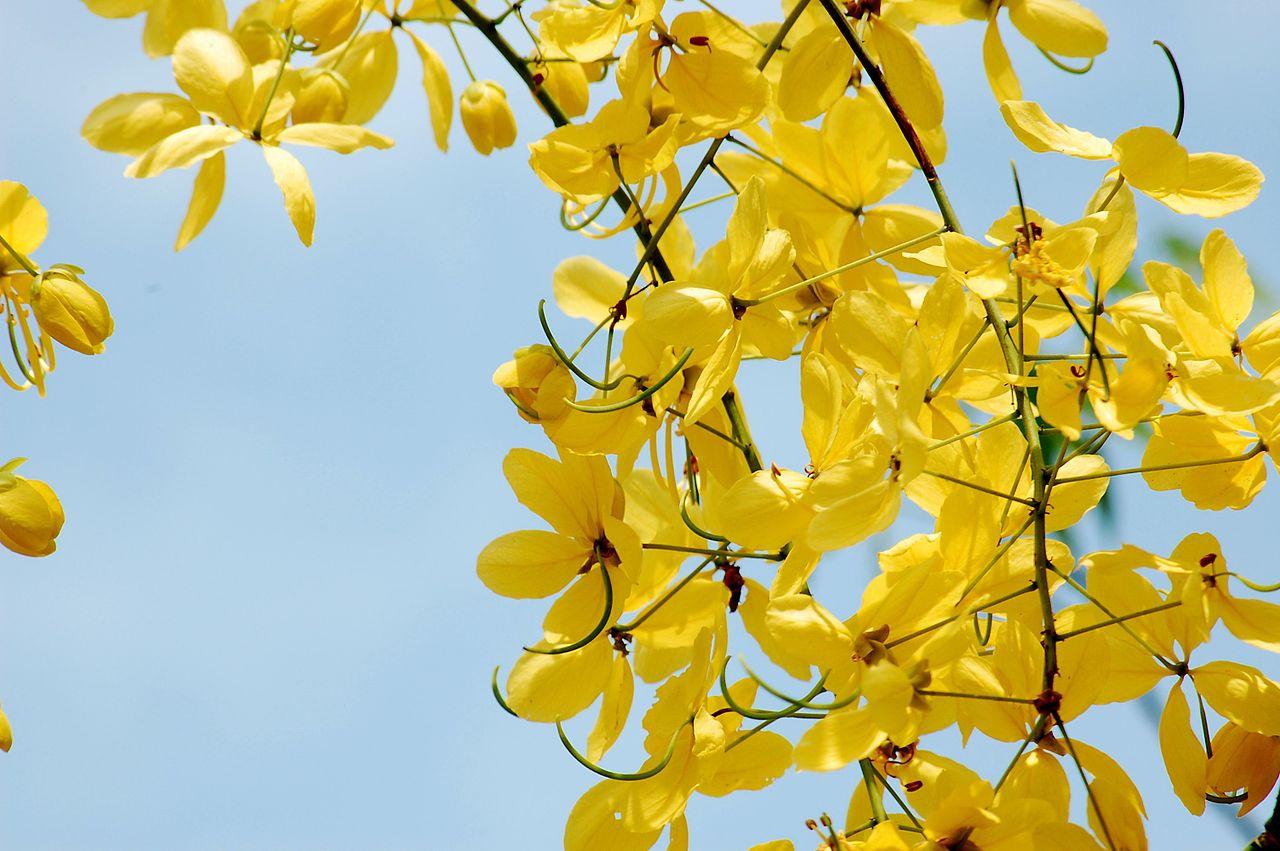 La Cassia fistula es un arbusto que produce flores amarillas