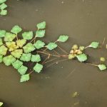 La castaña de agua es una acuática que se puede tener en maceta