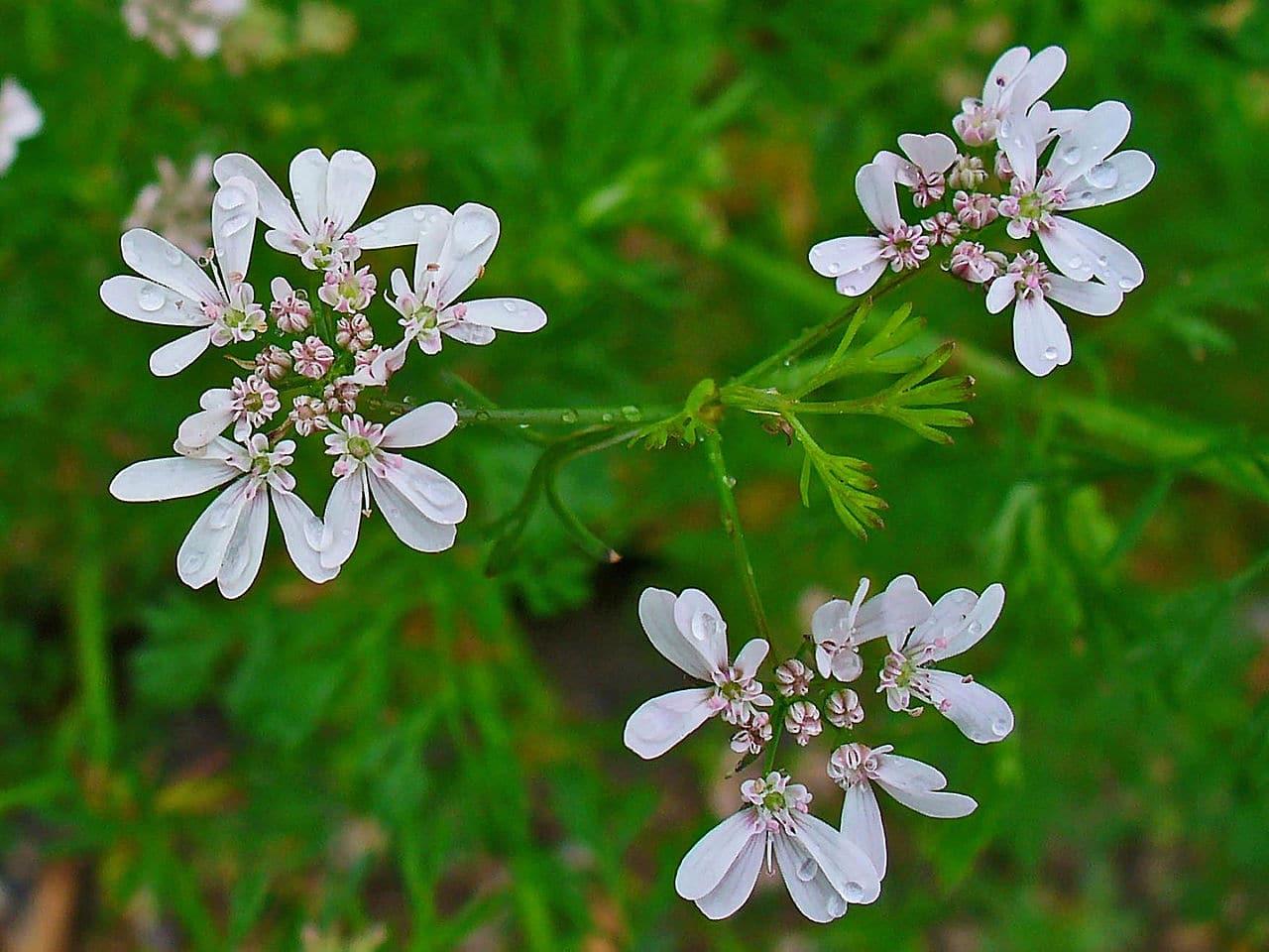 El coriandro es una planta herbácea