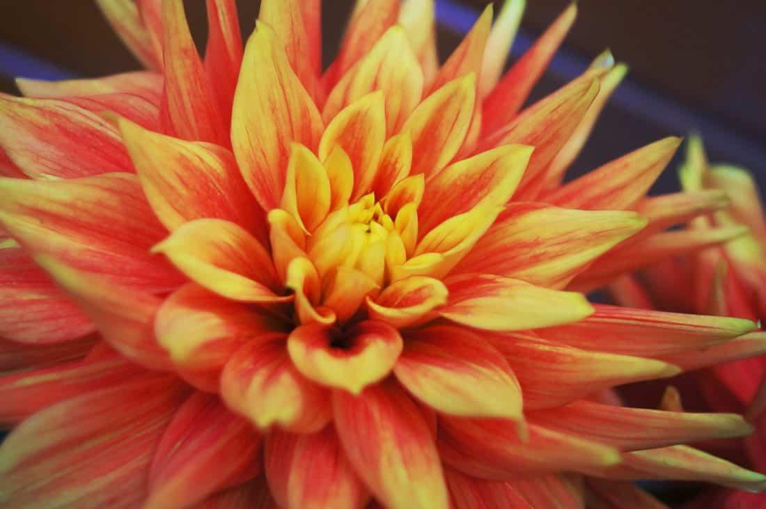 La dalia es una flor mexicana de diversos colores