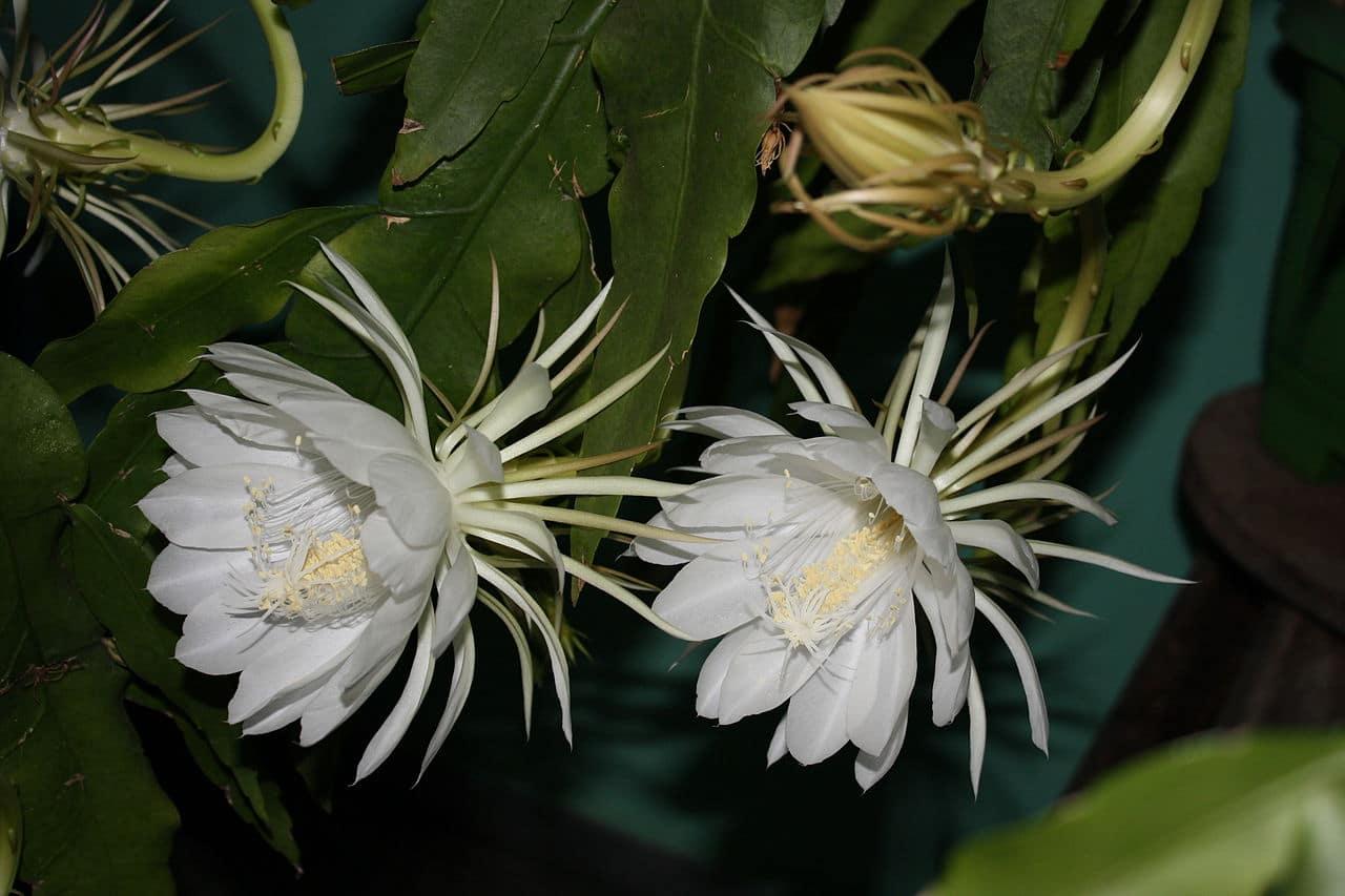La dama de noche es un tipo de cactus que florece por la noche