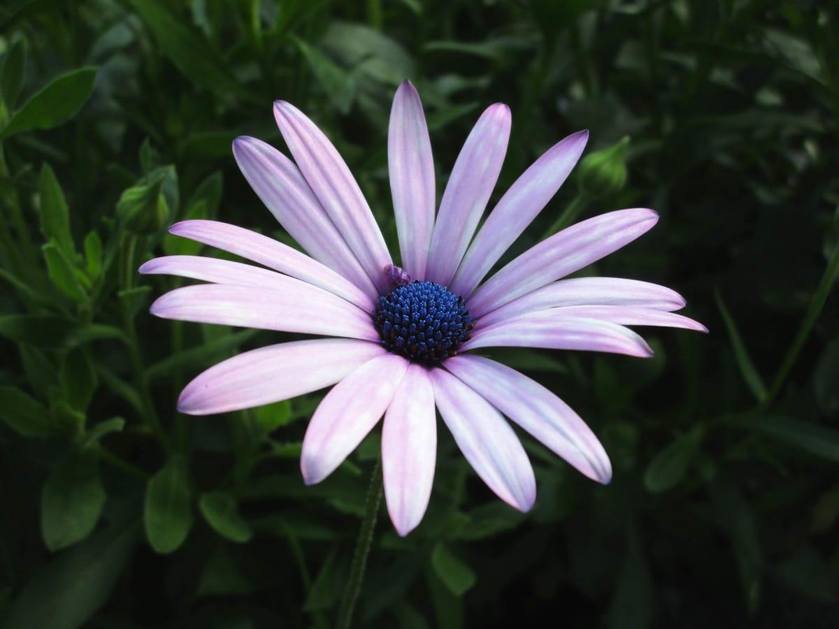 La dimorfoteca es una planta que produce flores casi todo el año