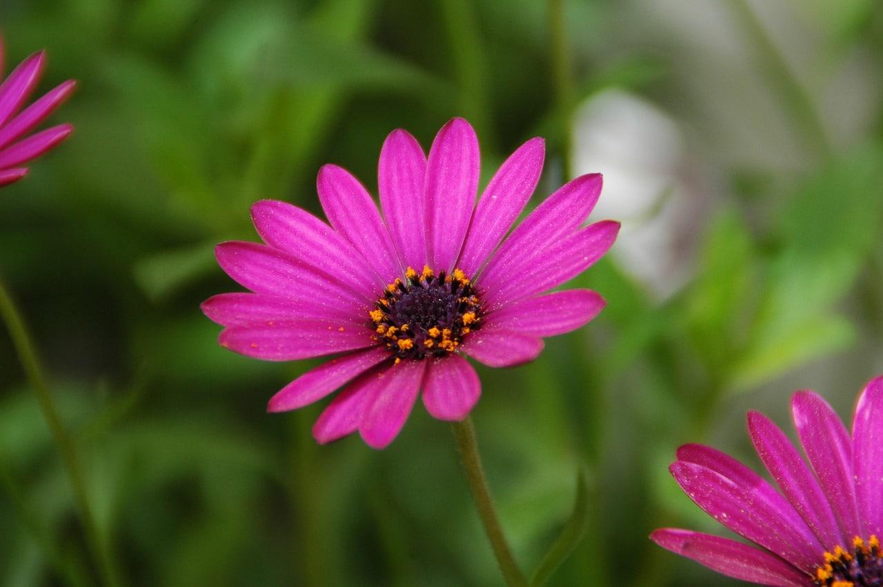 La dimorfoteca es una planta de flor alegre