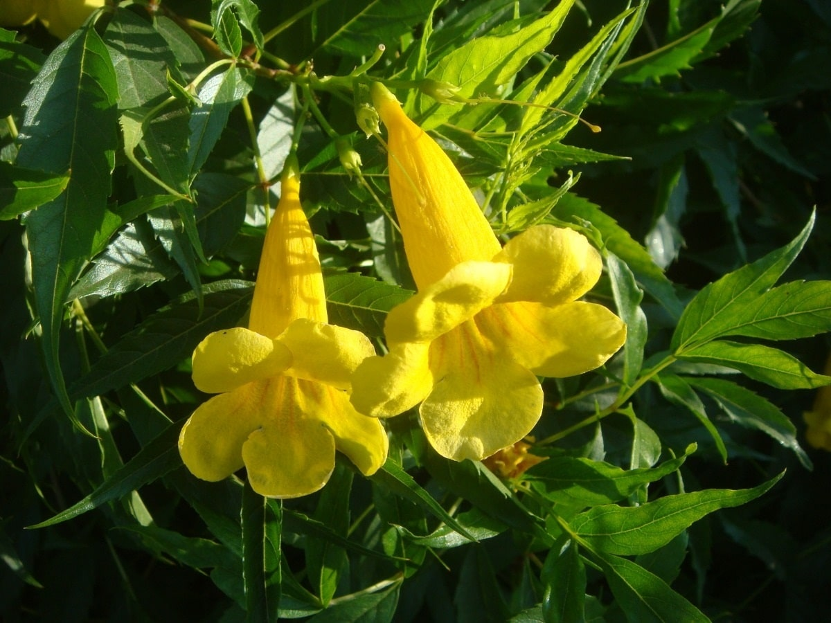 dos flores amarillas del arbusto Tecoma stans