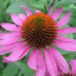 La Echinacea es una planta que produce flores grandes