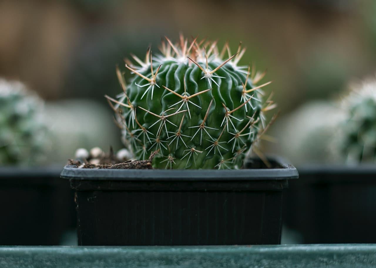 Los cactus en maceta se trasplantan cada dos o tres años