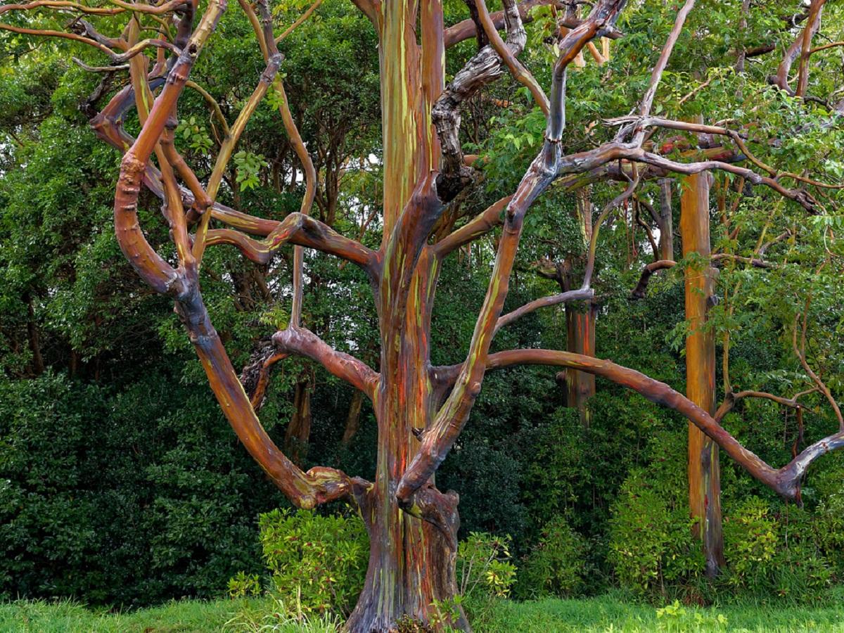 eucaliptus arcoíris el arbol mas asombroso del planeta