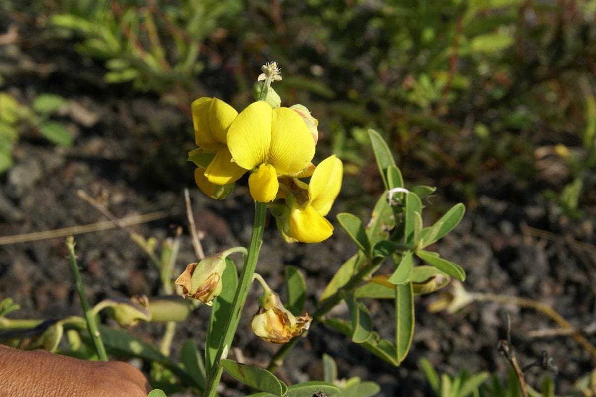 flor amarilla que nace del arbusto de la Crotalaria