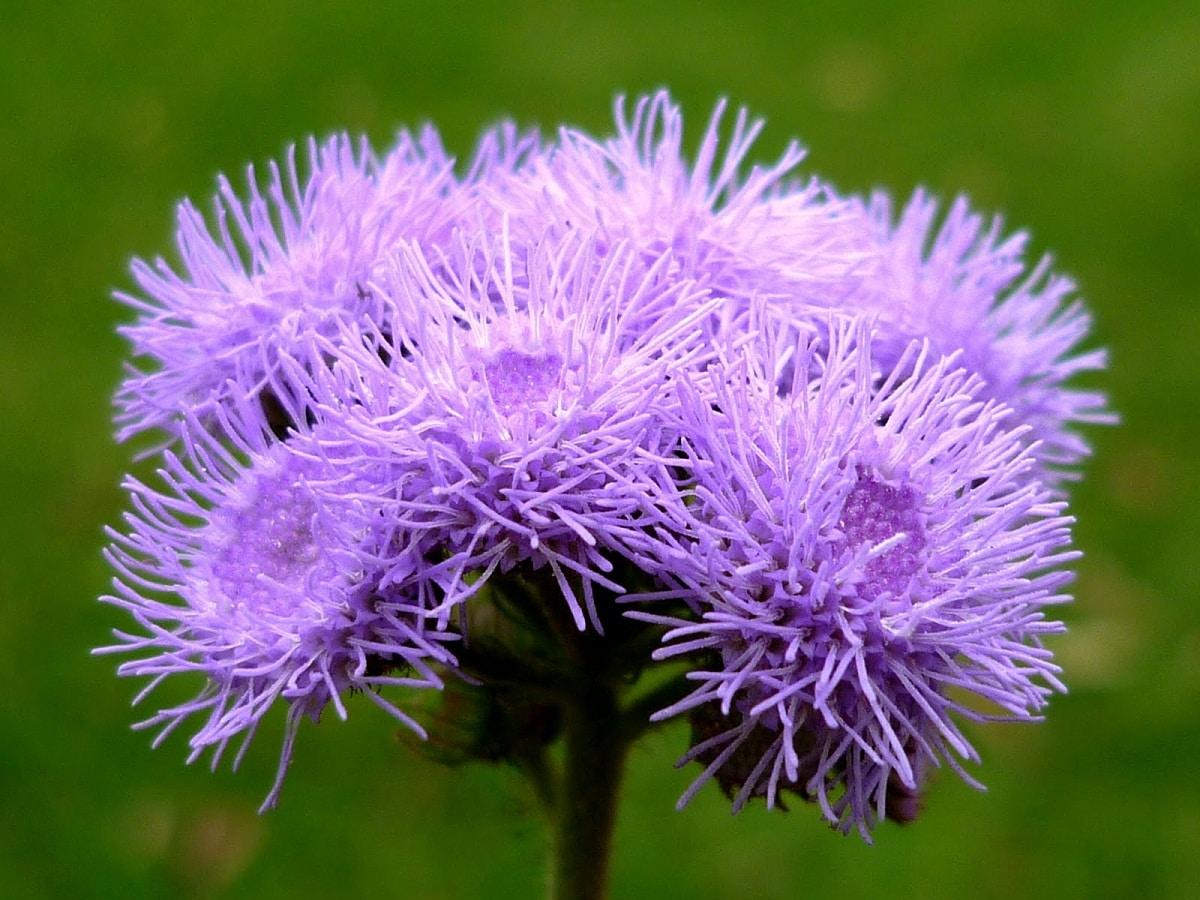 flor mirada de cerca de la planta Ageratum houstonianum