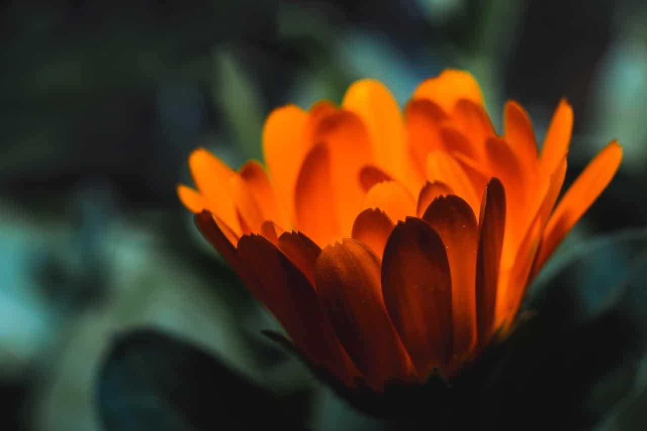 Las flores naranjas son producidas por diversas plantas