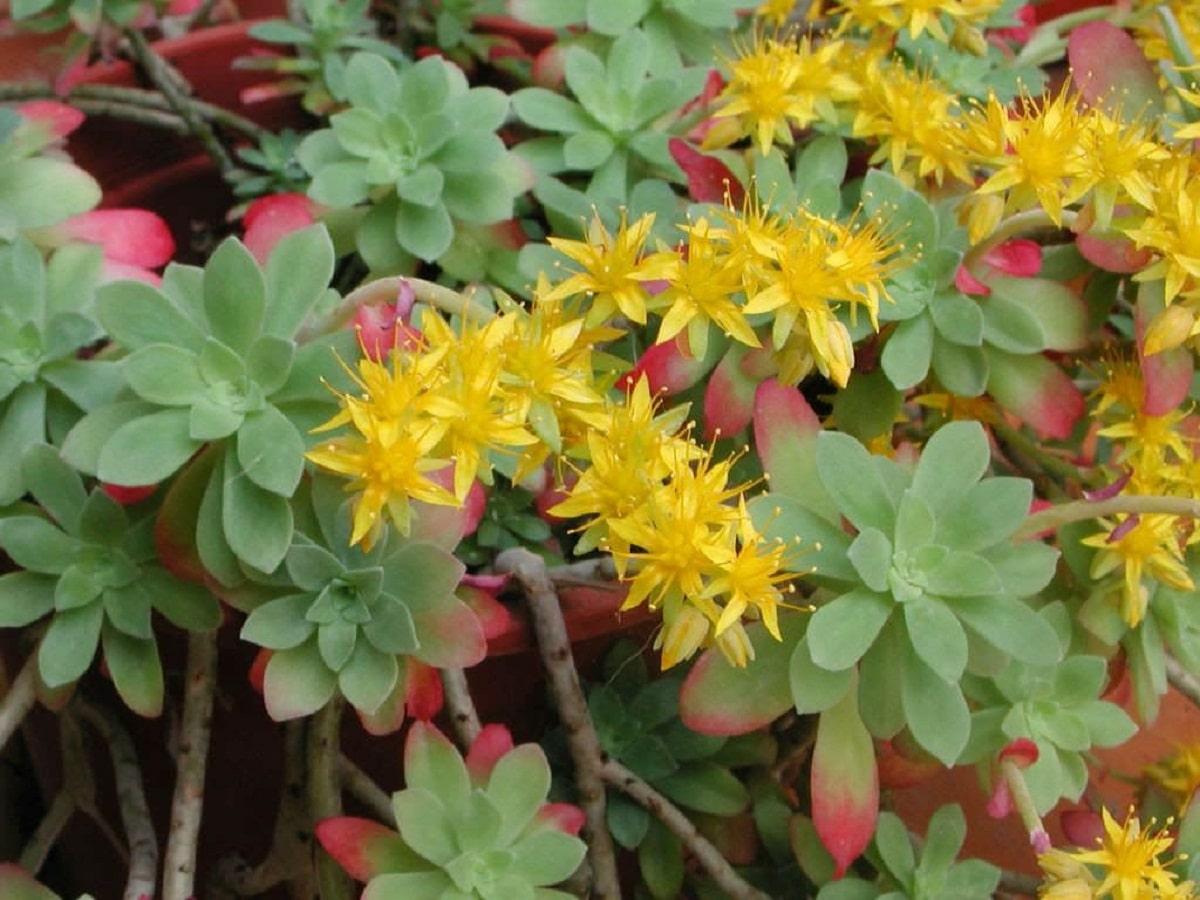 flores amarillas de la planta Sedum palmeri