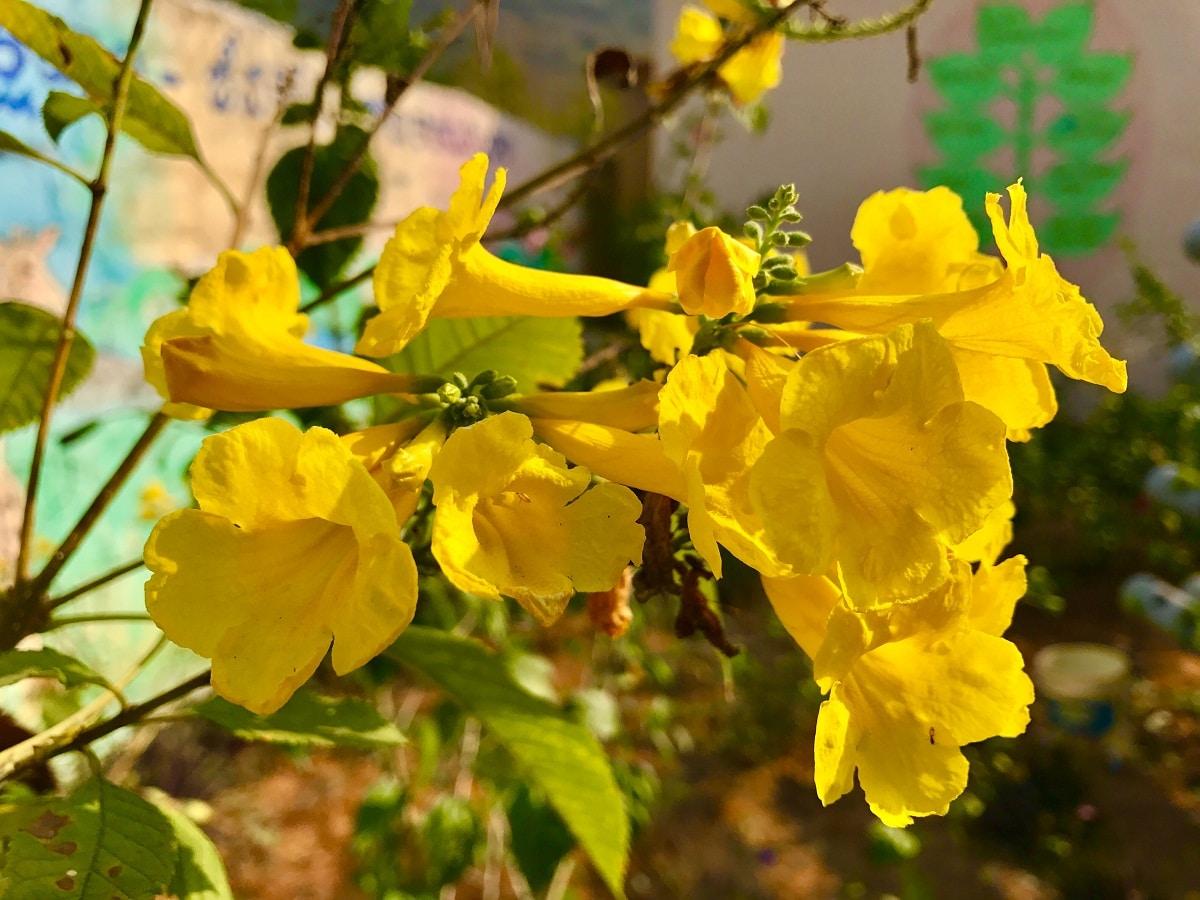 flores amarillas on forma de trompeta