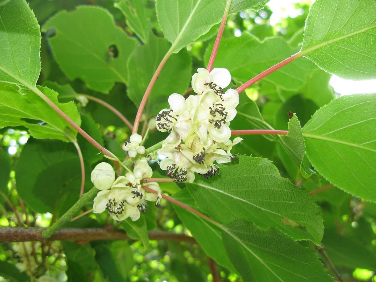 Las flores de Actinidia arguta son blancas