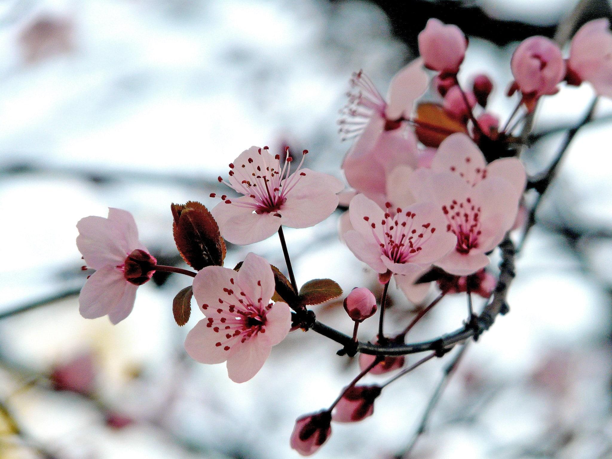 Las flores del Prunus son bonitas