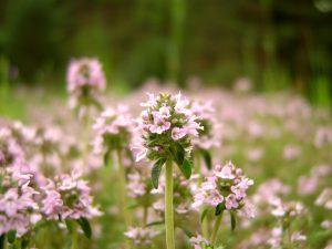El tomillo es una planta aromática