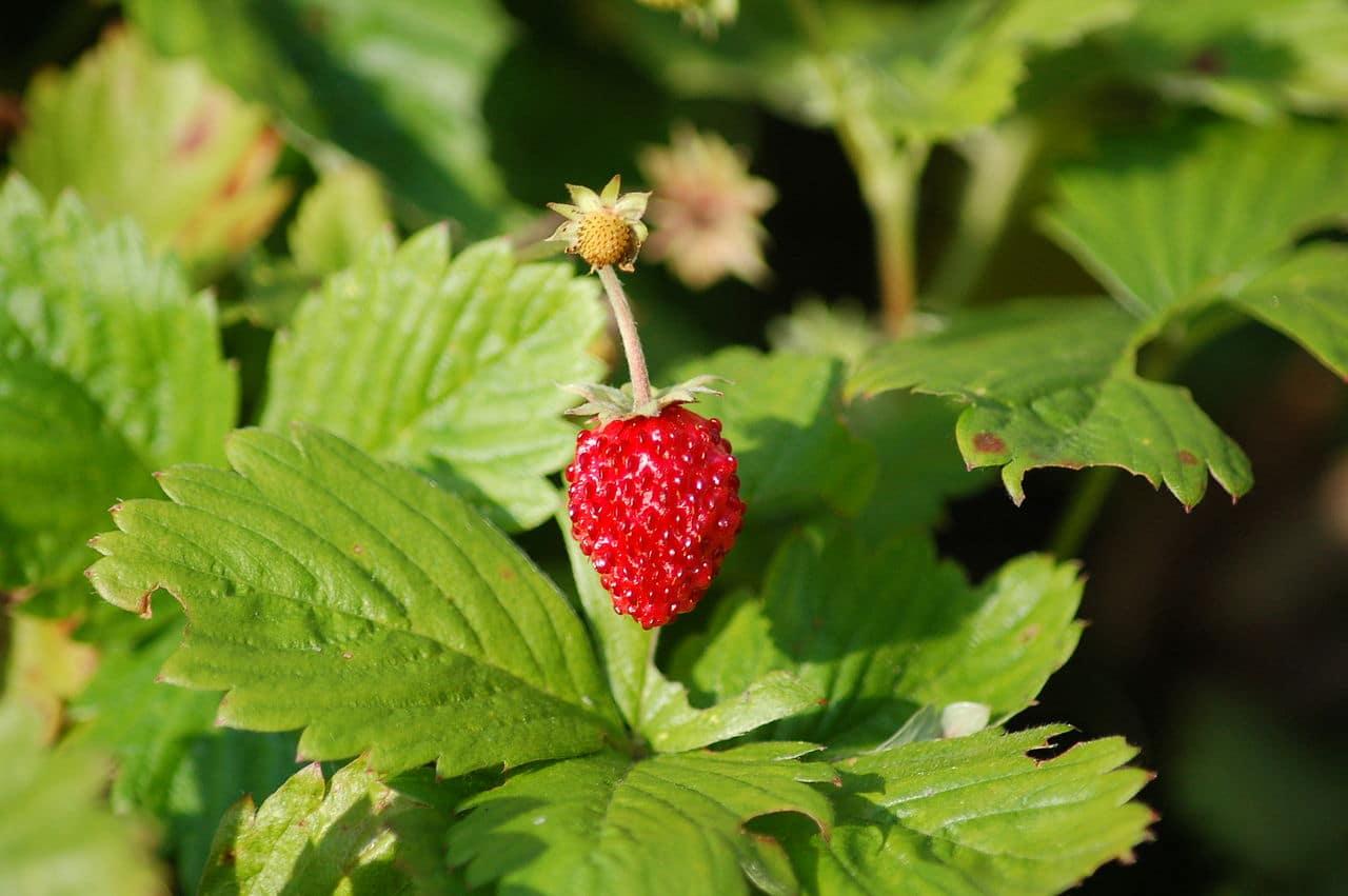 La planta de la fresa es pequeña, y comestible