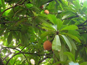 fruto llamado Mamey colorado colgado de árbol
