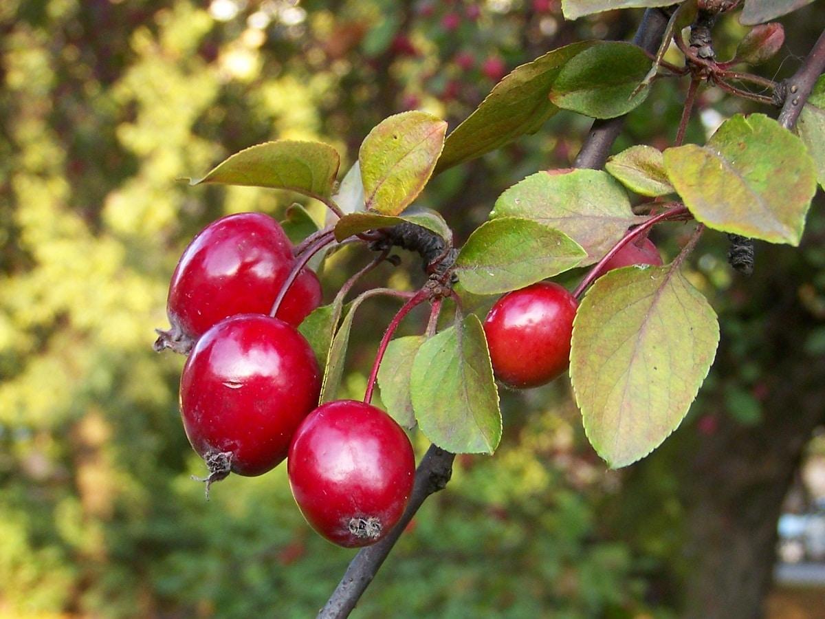 frutos de color rojo del Malus floribunda