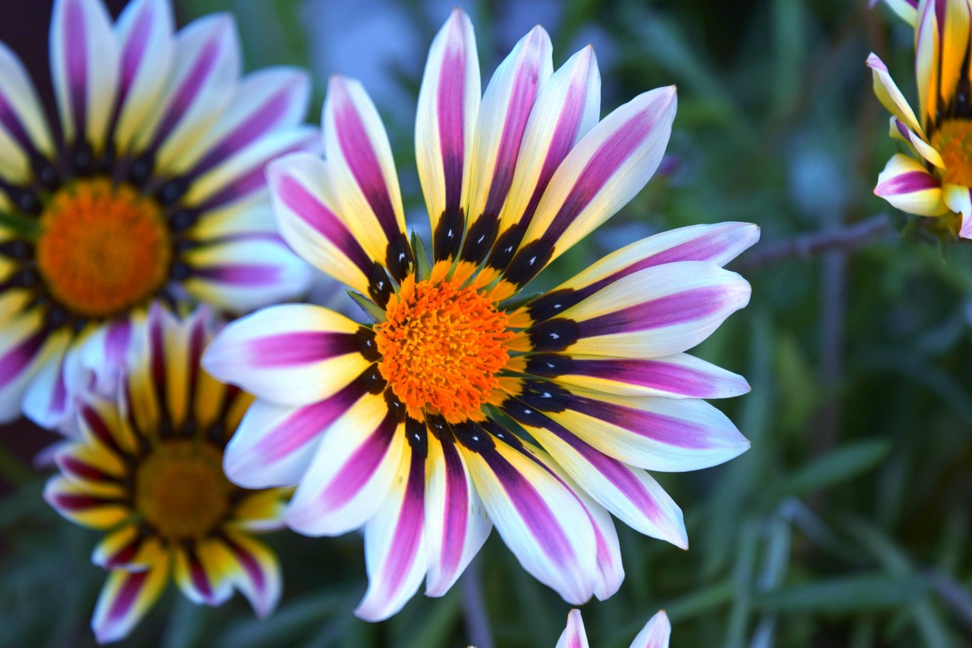 La gazania es una flor que se abre con el sol, y que crece bien en jardineras
