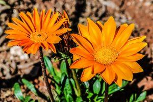 La gazania es una herbácea africana