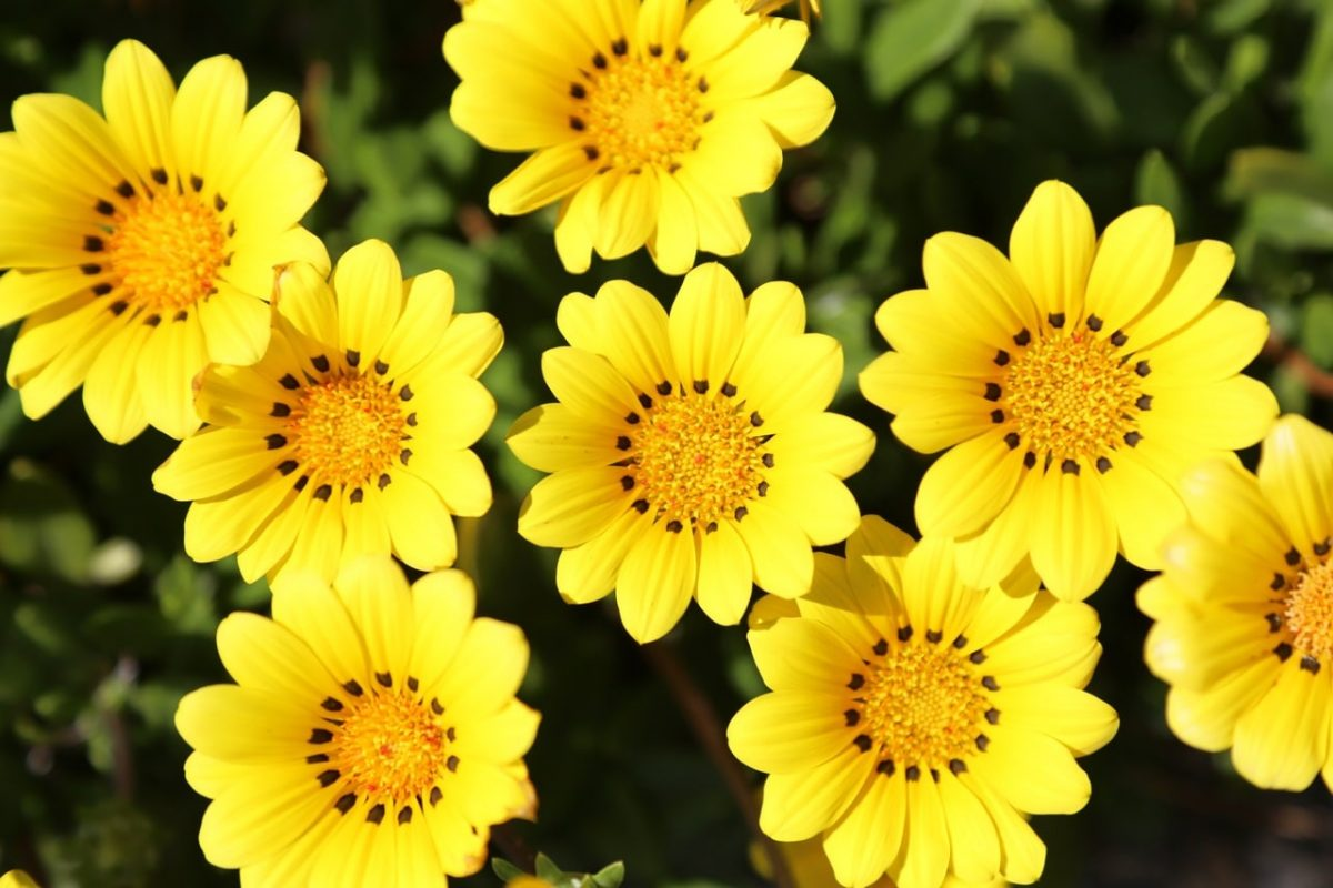 Las gazanias son flores que se abren con el sol