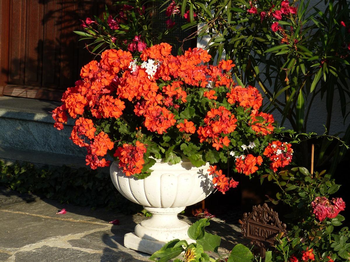 Los geranios son plantas que producen flores muy alegres