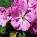Los geranios son plantas de jardineras clásicas