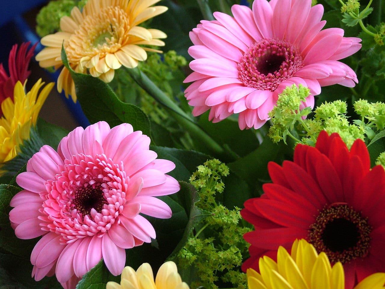 Las gerberas son plantas que producen flores muy bonitas