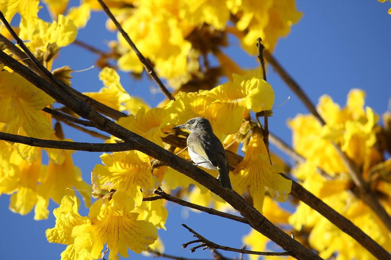 El guayacan produce flores amarillas
