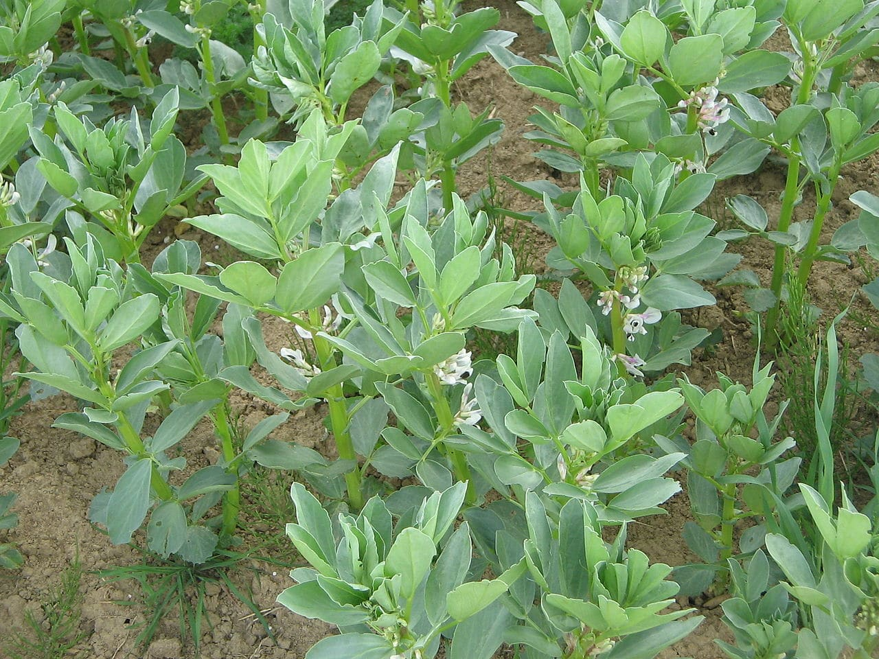 Las habas son plantas que producen semillas comestibles